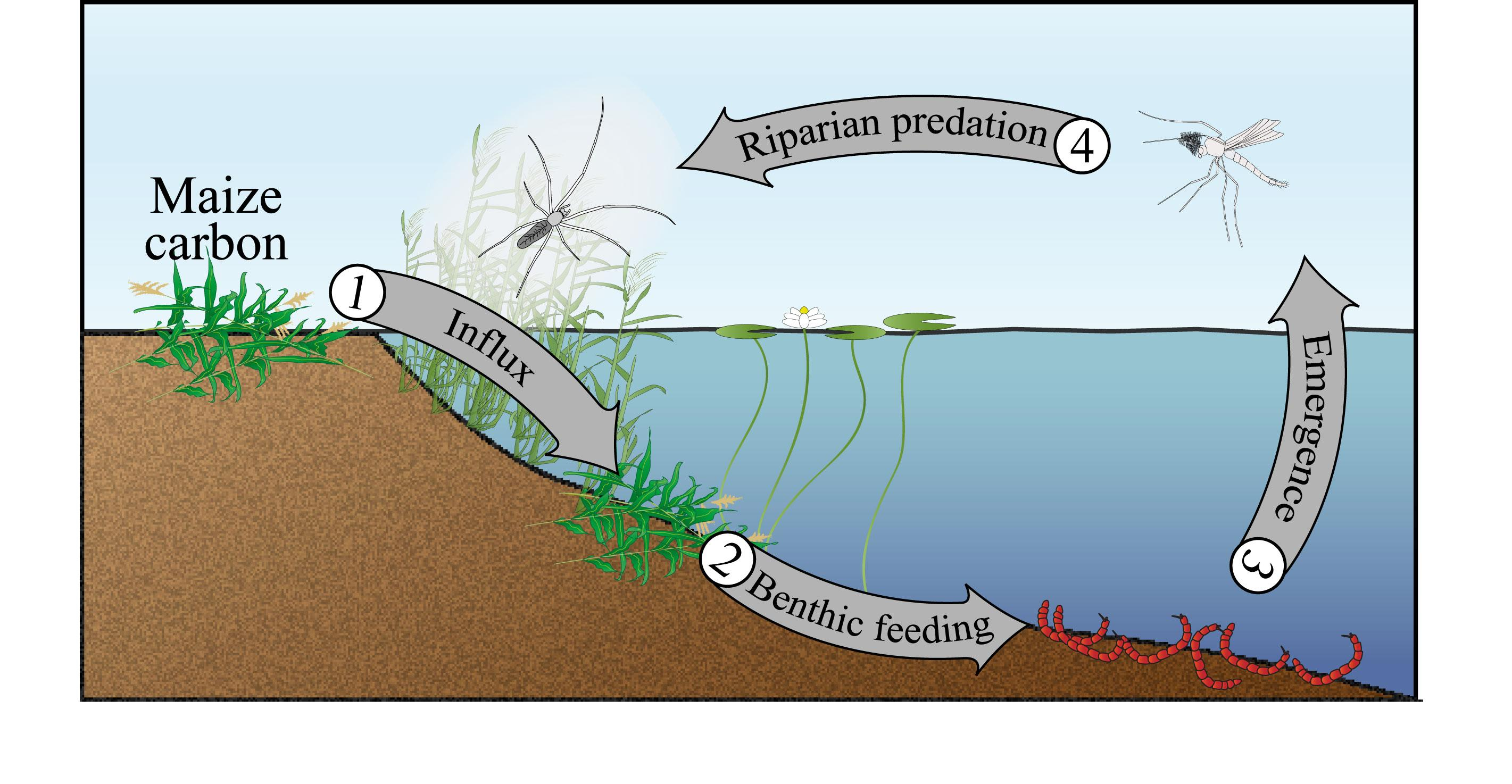 a freshwater aquatic and terrestrial food In rivers, as in the majority of other aquatic and terrestrial systems, the energy at the base of a food web comes from the solar energy fixed by plants (through photosynthesis) growing in the water or on land.